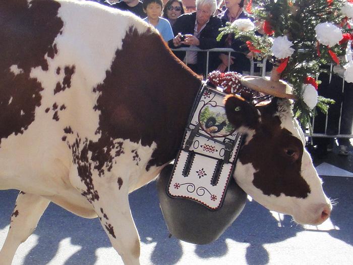 Колокольчики и коровы на празднике Бенишон в Швейцарии