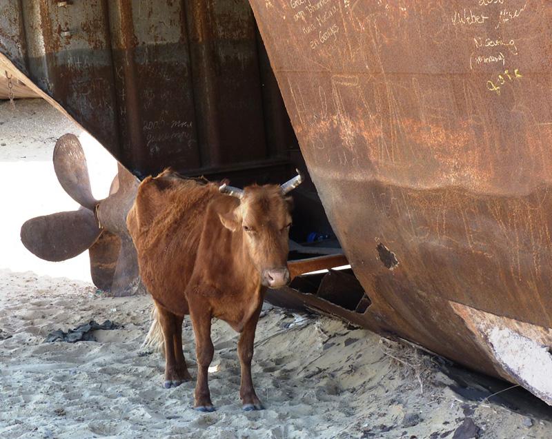 корова в пустыне