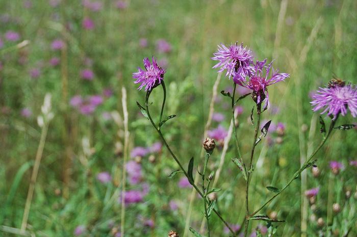 Василёк шероховатый (centaurea scabiosa)