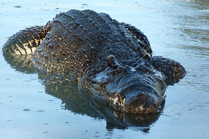 Взрослый крокодил